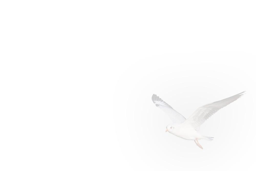 Häivytetty kuva lentävästä lokista